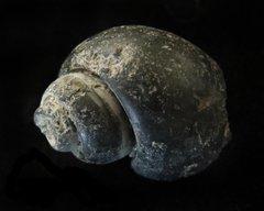 Gastropod Mold
