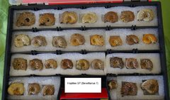 Hoplites ammonites from the albian clay of Troyes