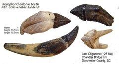 Xenophorid dolphin teeth