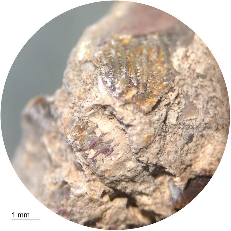 Marine-Coprolite-Ptychodus-Tooth-Fragment-10x-2.jpg