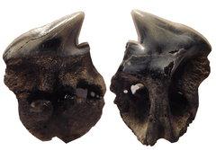 Somniosus microcephalus