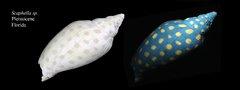 Flourescent Fossil Volute Snail