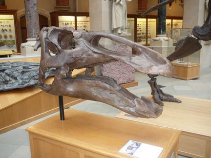 Natural History Museum Oxford Duck Billed Dinosaur skull.JPG
