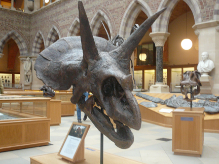 Natural History Museum Oxford Triceratops.JPG