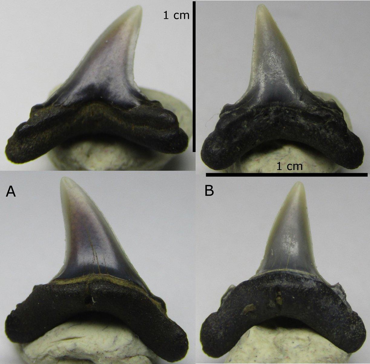 Eocene Alopias