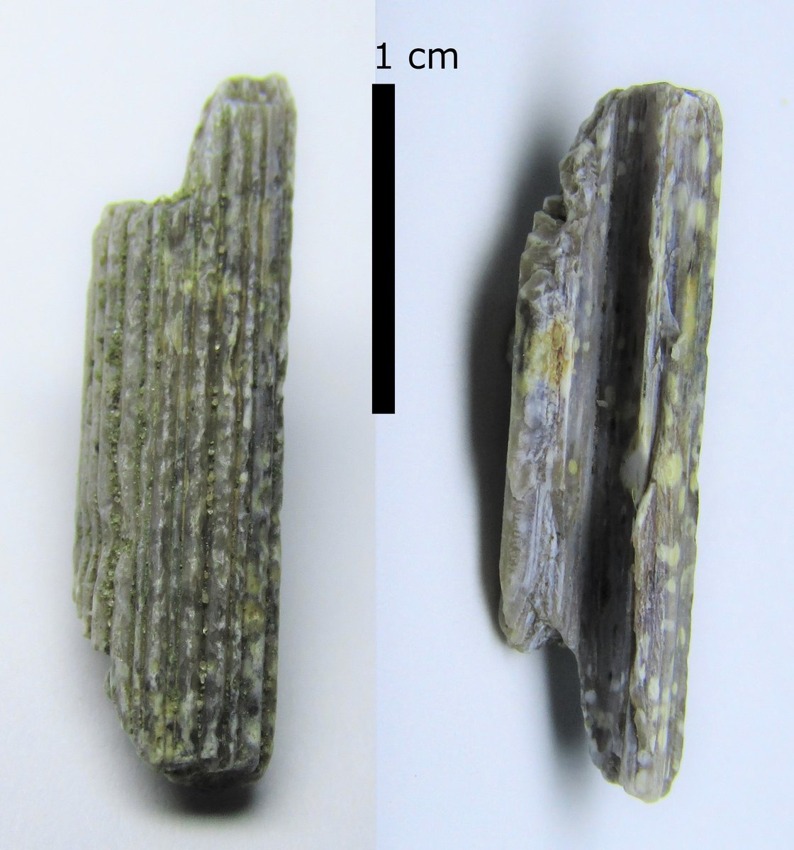 Cylindracanthus rostrum fragment