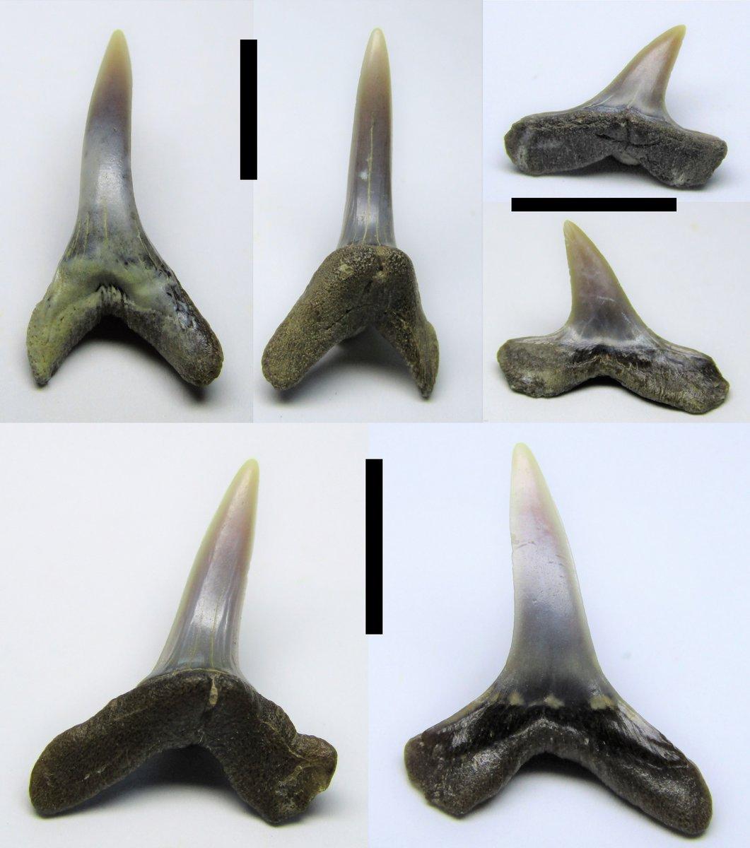 Anomotodon sheppeyensis