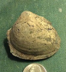 Cretaceous Bivalve from Monmouth County, New Jersey