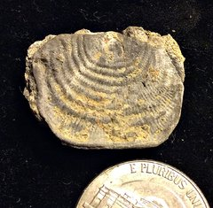 Strophomenida Brachiopod from the Kalkberg Formation, NY.