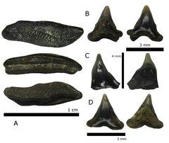 Heterodontus upnikensis