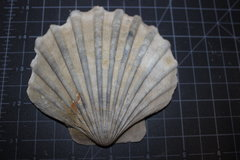 Chesapecten santamaria