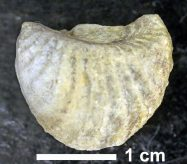 Trigonia-emoryi-OU42341-187x164.jpg