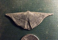 Spiriferida Brachiopod from Madison Co., NY.