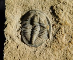 Cedaria Minor trilobite 1.jpg