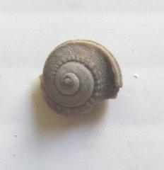 Gastropod  Glabrocinculum fossil.jpg