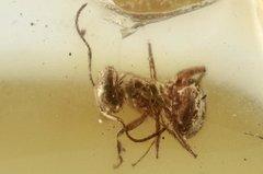 Baltic Amber Gemstone, Fossil, Formicidae, Ant 0.jpg