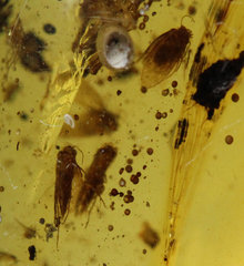 Burmese-Amber-Fossil-Insect-Inclusion-Caddisfly-group-Spider-30mm-15.65ct 0.jpg