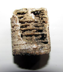 Crinoid Stem showing inner structure.jpg