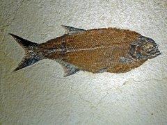 Hiodon falcatus