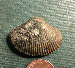 Cretaceous Bivalve from the Basal Navesink
