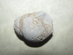 Tylostoma tumidum Gastropod cast a.jpg