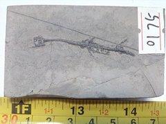 Keichousaurus Fossil 1.jpg
