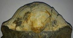 Gigantoproductus latissimus