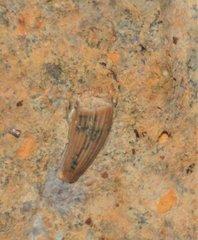 Nothosaurus mirabilis, France, Muschelkalk fm