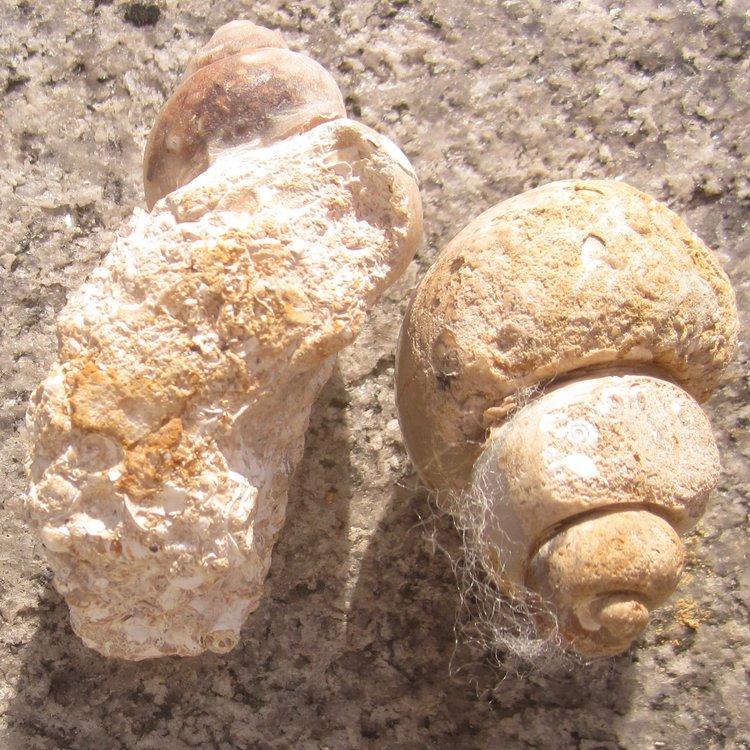 Fossil ~ Agate Snails Pic2 Bottom.jpg