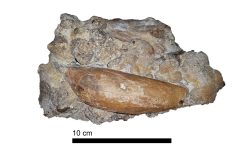 Raptorial Physeteroid Incisor (Chile)