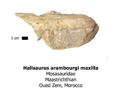 Halisaurus arambourgi maxilla