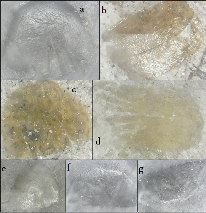 elopomorpha and unidentified ctenoid.jpg