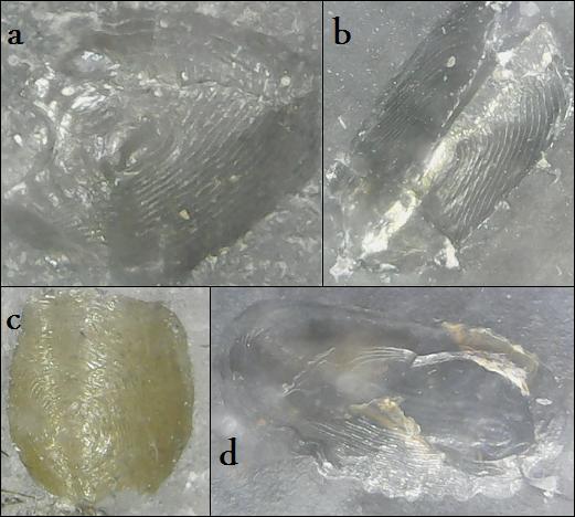 leptolepidiformes.jpg