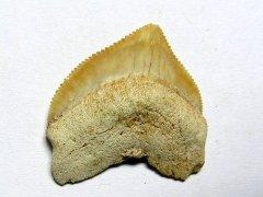 Squalicorax pristodontus (Agassiz 1843)
