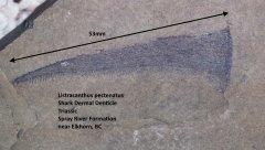 Listracanthus pectenatus.jpg