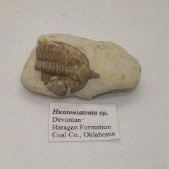 Huntoniatonia sp.