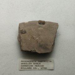 Itagnostus interstricta