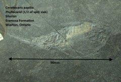 Ceratiocaris papilio (2).jpg