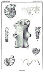 Prionocyclus hyatti (Stanton, 1894)