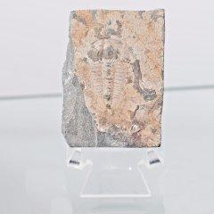 Trilobite Fossil Redlichia