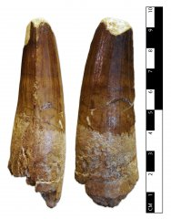Spinosaurid Tooth
