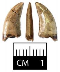 Saurornitholestes tooth