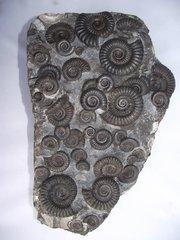 arnioceras multi, holderness coast