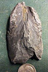 Palaeoheterodonta Bivalve from Madison County, New York