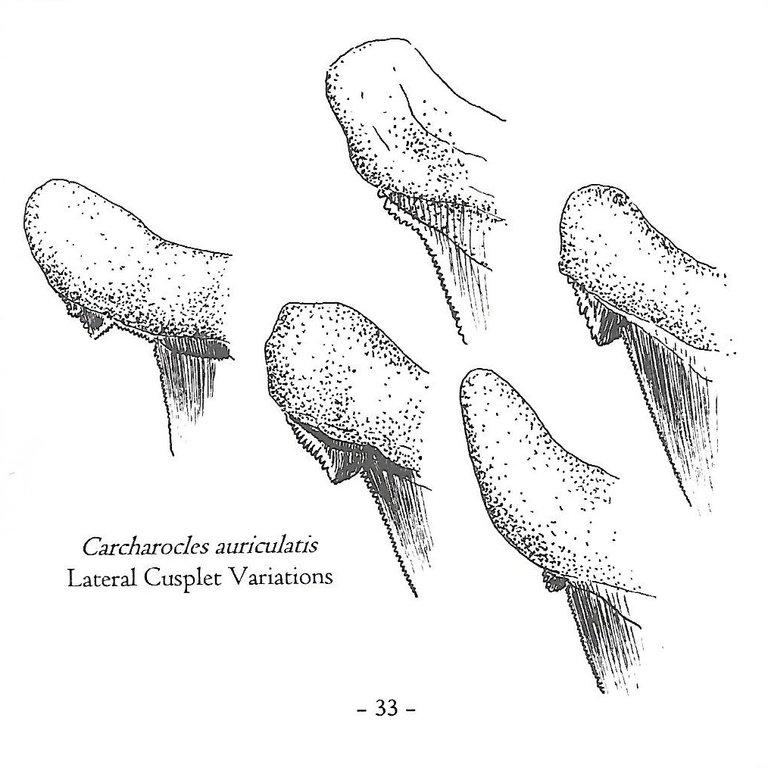 5b05e4750edc2_Otodusauriculatus.thumb.jpg.59d885fee40fbab0617765cf23c1cb22.jpg