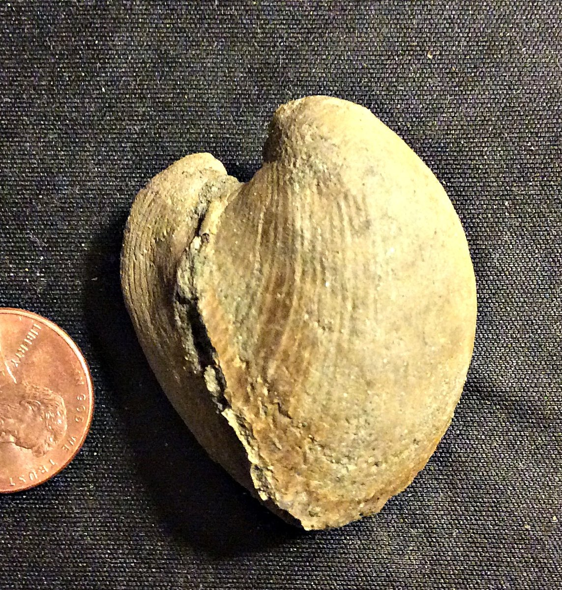 A Cast of a Bivalve Shell from the Merchantville Formation, N.J.