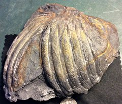 Partial Dipleura Dekayi Trilobite from Madison Co.. NY.