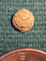 Very Tiny Lower Devonian Terebratulid Brachiopod