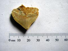 Squalicorax Pristodontus 1.jpg