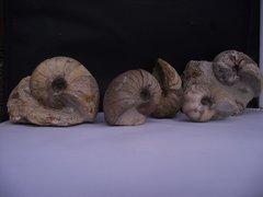 Ilminster Nautilus